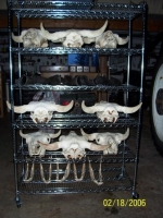 Skulls & jaws dry for 3 days after bleaching in order to be thoroughly dry.  The horns are oiled with linseed oil to kee